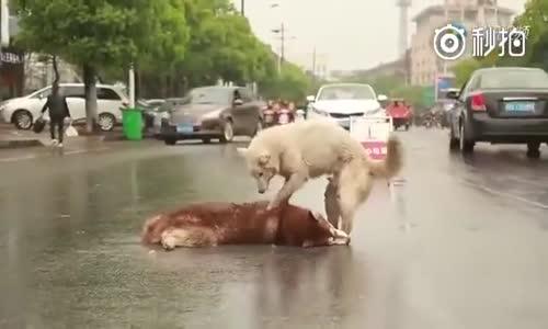 Aracın Çarptığı Arkadaşını Uyandırmaya Çalışan Köpek