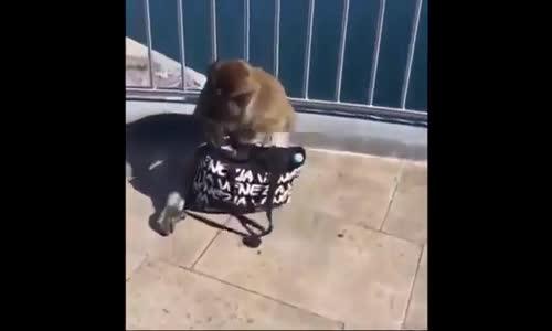 Kapkaçcı Maymun