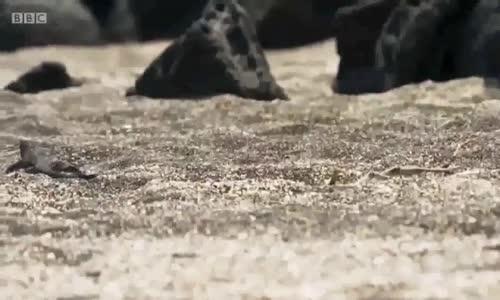 Yılanların Mahallesinden Sağ çıkan Comodo Ejderi