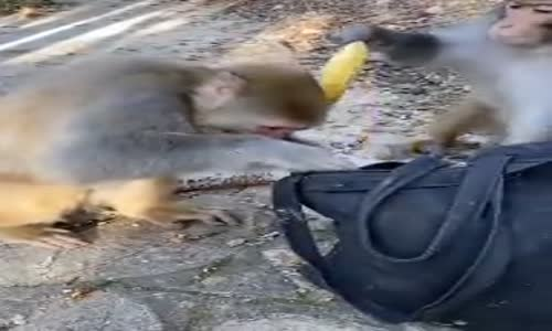 Hasılatı Toplayan Kapkaççı Maymun