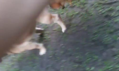 Köpek horozla Çiftleşti  Kıyamet Alameti