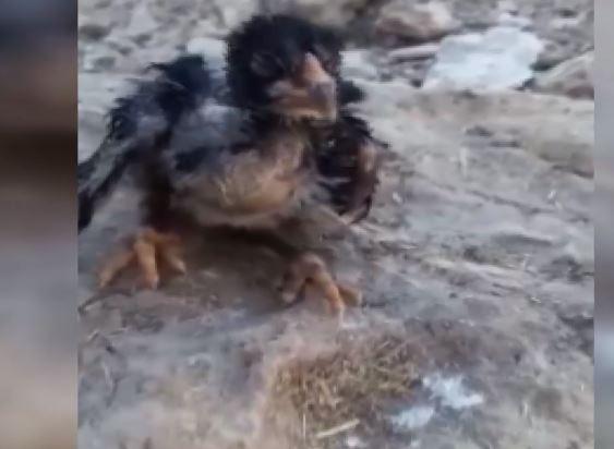 Ölmek Üzere Olan Civcivi Suni Teneffüsle Hayata Döndürdü