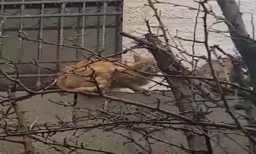 Nisanda Kedilerde aşk