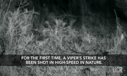 Ağır Çekimde Kanguru Faresinin Yılandan İnanılmaz Kurtulma Anı