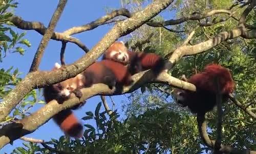 Kırmızı Renkli Üçüz Pandaların Sevimli Halleri