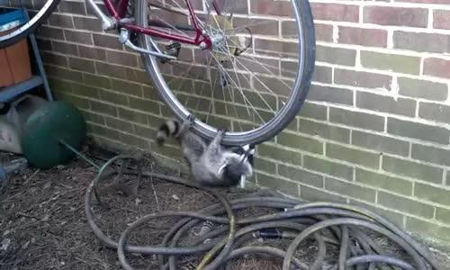 Bisiklet Tekeri Ile Oynayan Rakunlar Seyredelimcom