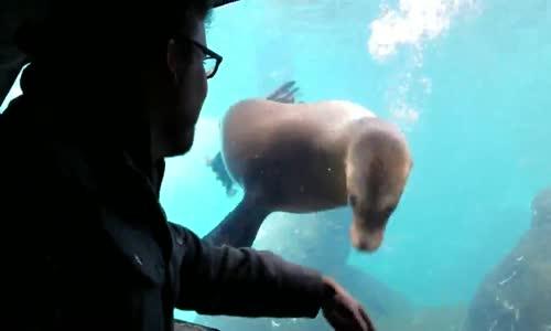 Akvaryumda El Hareketlerini Takip Eden İlginç Deniz Aslanı