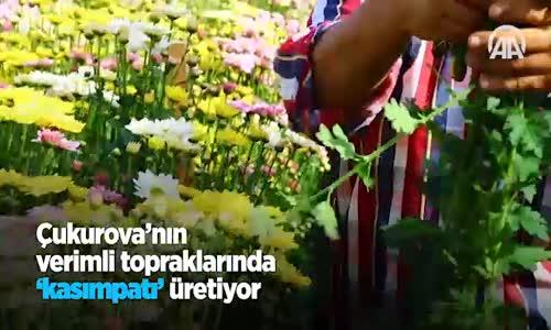 Çukurova'nın Verimli Topraklarında Kasımpatı  Üretiyor