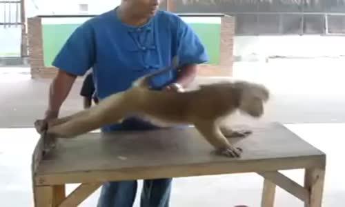 Şınav Çeken Maymun