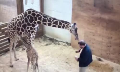 Yavrusunu Korumak İçin Sakinliğini Bir Kenara Bırakan Zürafanın Tekme Savurduğu Anlar