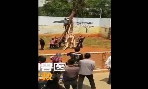 Zürafanın Kafasını Ağaca Sıkışması